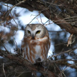 Saw-whet owl in the Boundary Waters Canoe Area Wilderness